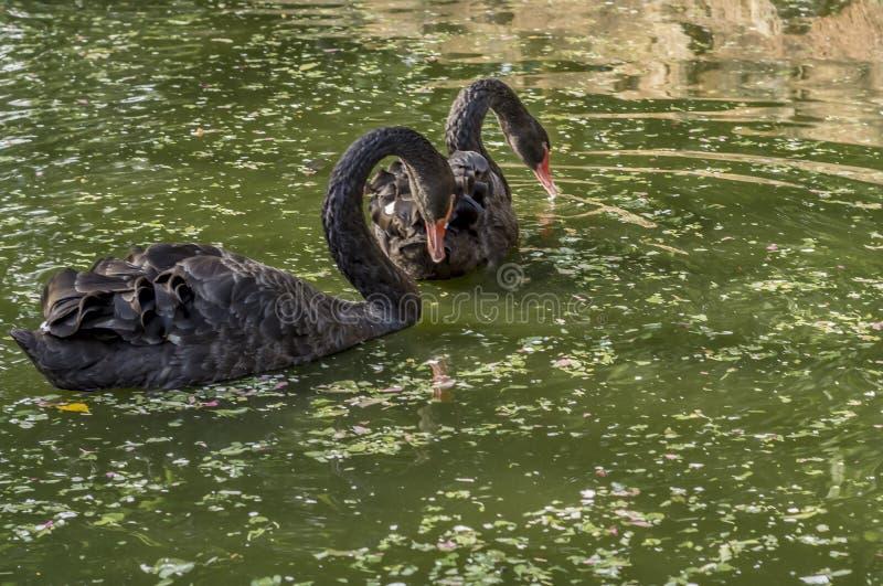 Pares del cisne negro en una charca verde fotos de archivo