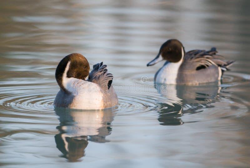 Pares del codón de patos en el delta del Po imagenes de archivo