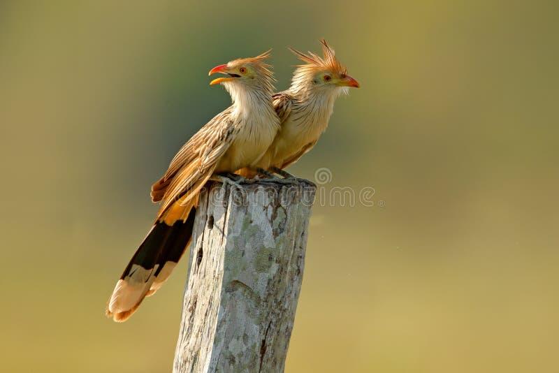Pares del cuco de Guira, guira de Guira, en hábitat de la naturaleza, pájaros que se sientan en la perca, Mato Grosso, Pantanal,  imagen de archivo