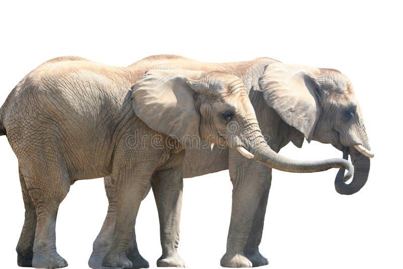 Pares del elefante foto de archivo