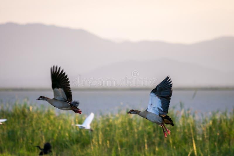 Pares del ganso egipcio por el lago Jipe, Kenia, África imagenes de archivo