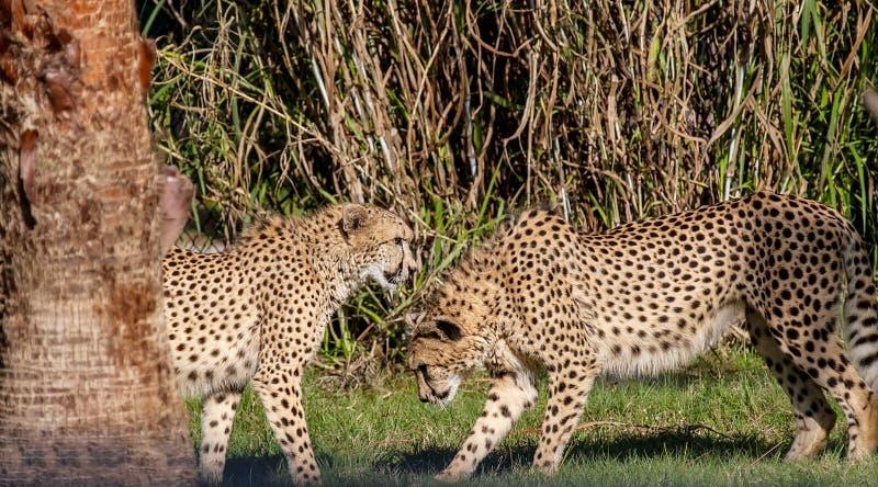 Pares del guepardo foto de archivo