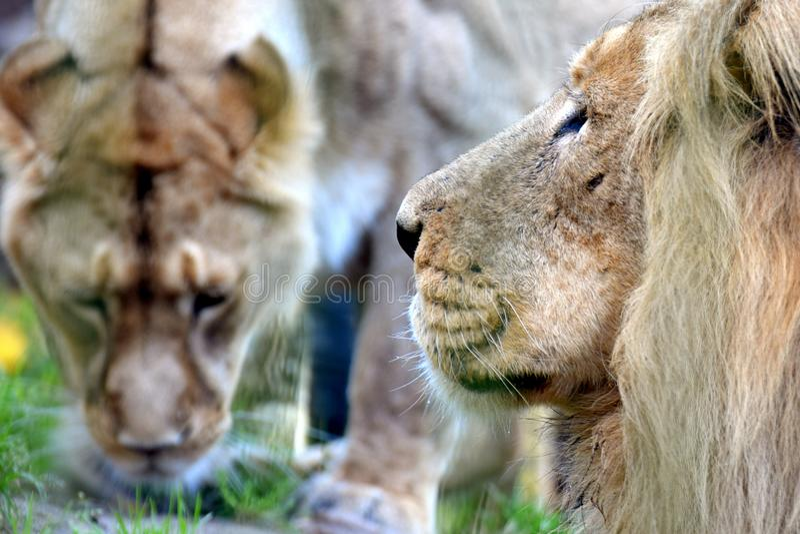Pares del león imagen de archivo