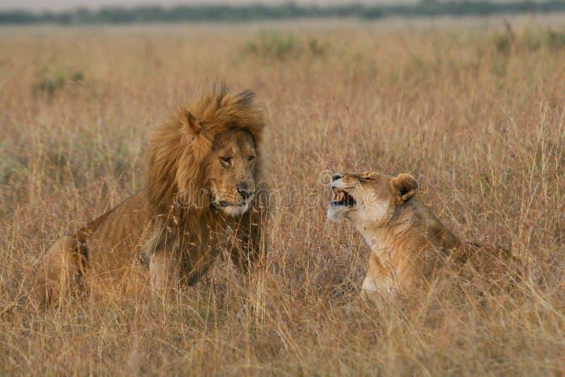 Pares del león en luna de miel fotos de archivo