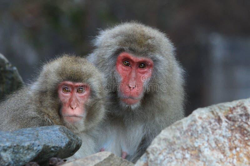 Pares del Macaca japonés Fuscata de los monos de la nieve imagenes de archivo