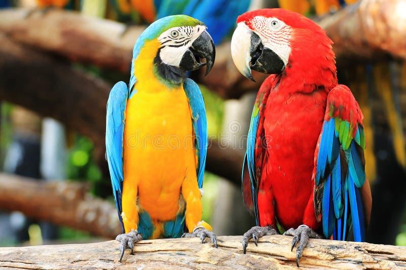 Pares del macaw del loro imagen de archivo