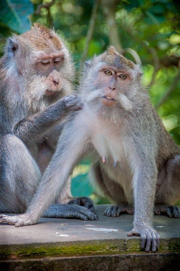 Pares del mono imagen de archivo libre de regalías