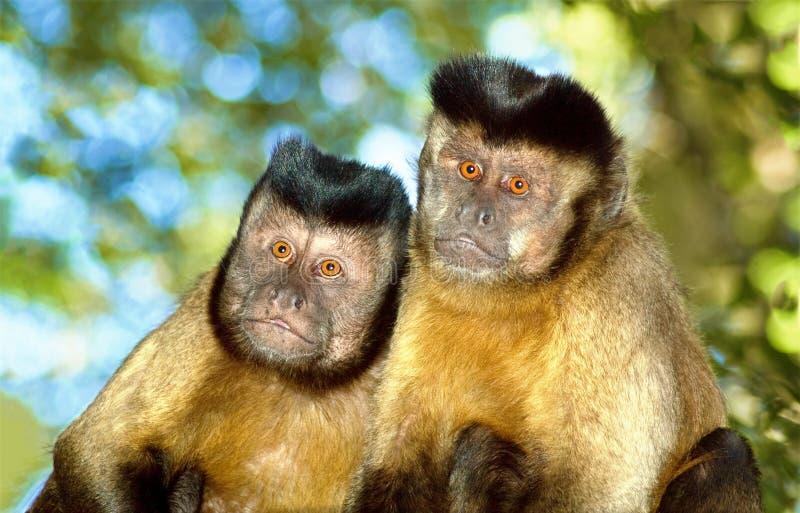 Pares del mono del capuchón imagen de archivo libre de regalías