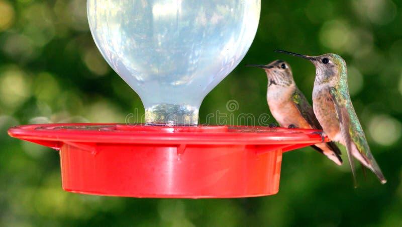 Pares del pájaro del tarareo encaramados en alimentador fotografía de archivo libre de regalías