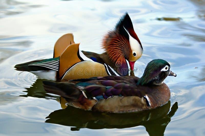 Pares del pato de mandarín foto de archivo