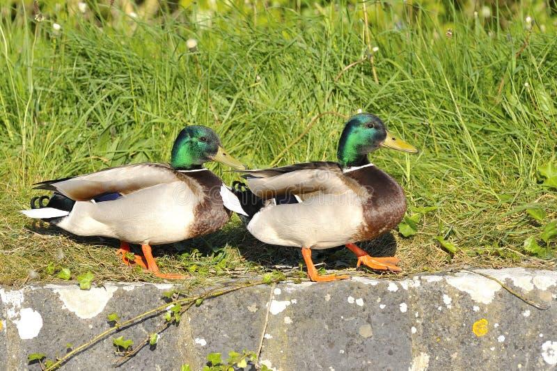 Pares del pato del pato silvestre imagen de archivo libre de regalías