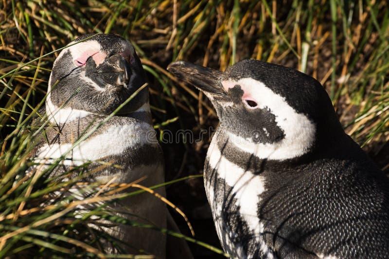 Pares del pingüino de Magellan en amor imágenes de archivo libres de regalías