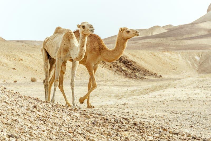 Pares del primer del paseo de la familia de dos camellos junto a través de desierto del día imágenes de archivo libres de regalías