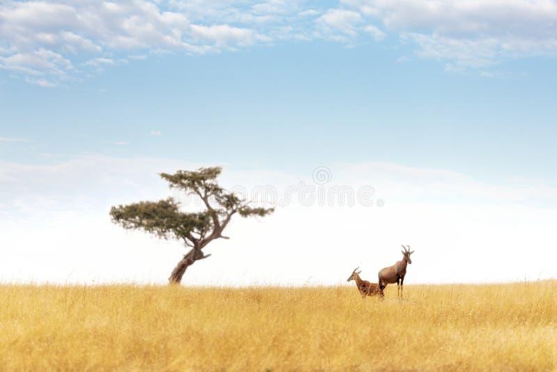 Pares del Topi y árbol del acacia en el Masai Mara fotos de archivo libres de regalías
