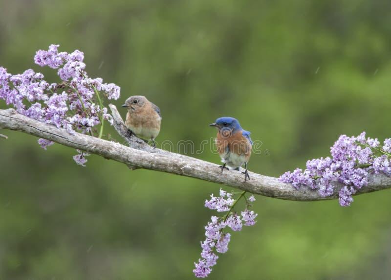 Pares do azulão-americano empoleirados nos lilás foto de stock royalty free