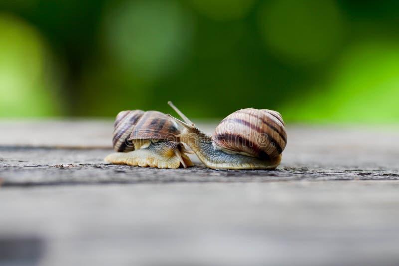Pares do caracol Analogia do amor do caracol fotografia de stock