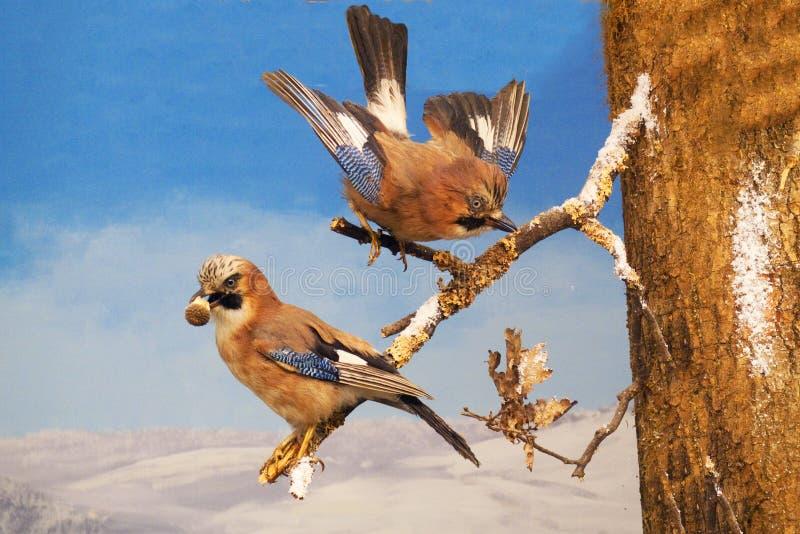 Pares do gaio em um ramo, com as penas coloridas, azuis, alimento no bico fotos de stock