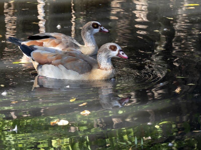 Pares do ganso egípcio, aegyptiacus de Alopochen, na água fotos de stock