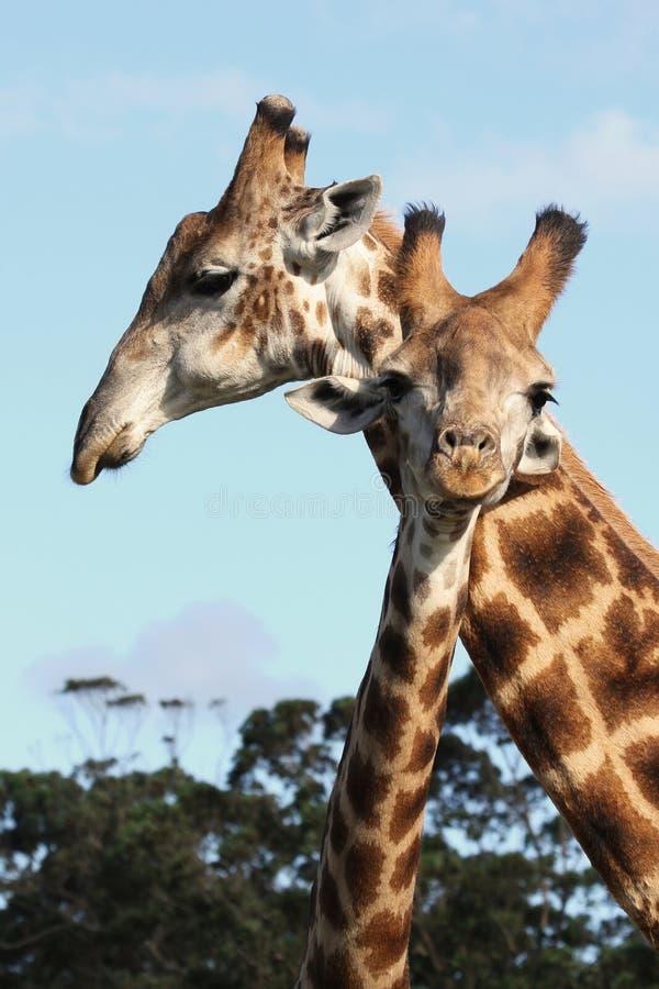 Pares do Giraffe fotos de stock