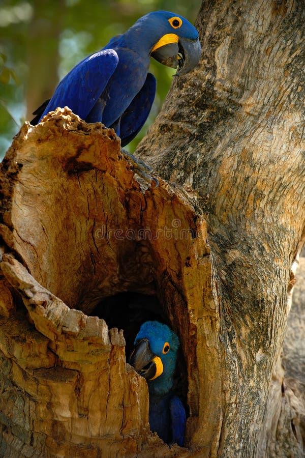 Pares do pássaro raro, papagaio azul Hyacinth Macaw na árvore do ninho em Pantanal, furo da árvore, animal no habitat da natureza fotografia de stock royalty free
