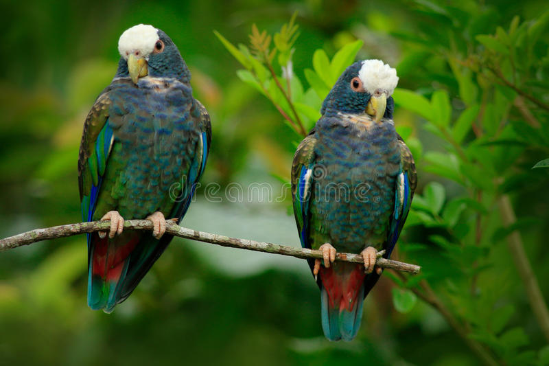 Pares do papagaio dos pássaros, o verde e o cinzento, Pionus Branco-coroado, papagaio Branco-tampado, senilis de Pionus, em Costa fotografia de stock royalty free