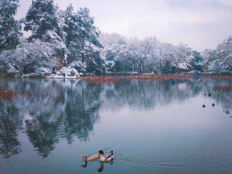 pares do pato de mandarino que nadam no lago do inverno imagem de stock