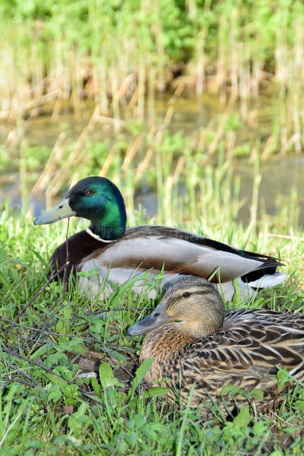 Pares do pato selvagem que descansam perto do rio imagens de stock