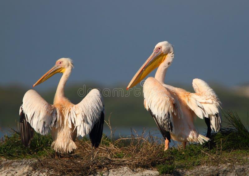 Pares do pelicano fotografia de stock royalty free
