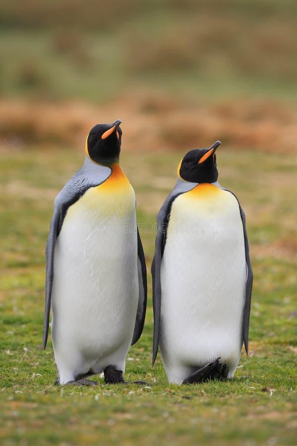 Pares do pinguim de rei na natureza selvagem com fundo da grama verde imagem de stock royalty free