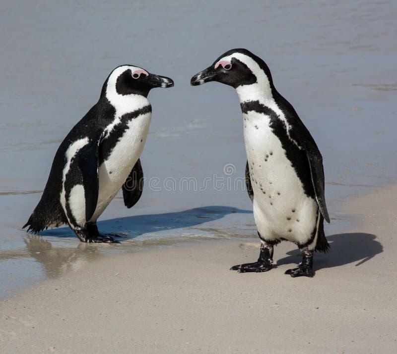 Pares do pinguim na areia limpa na costa de mar imagem de stock royalty free