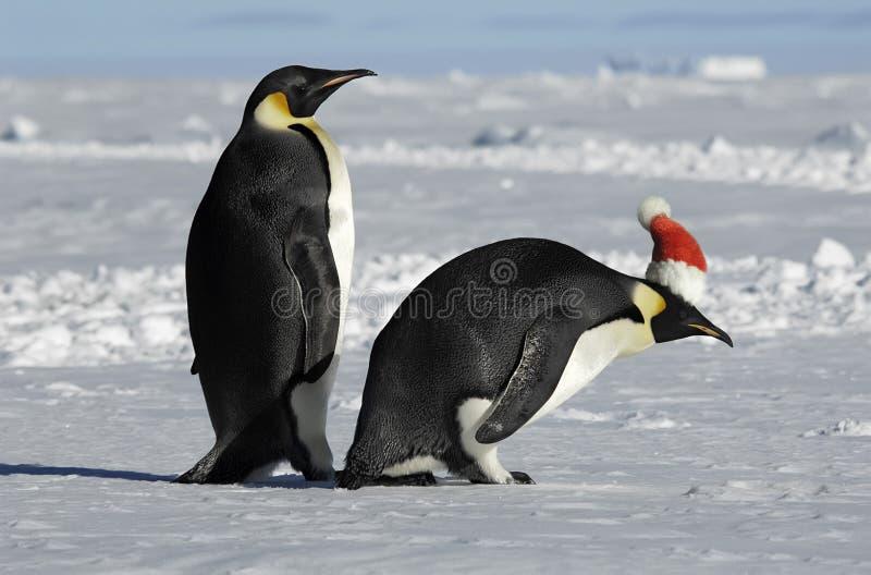 Pares do pinguim no Xmas foto de stock royalty free