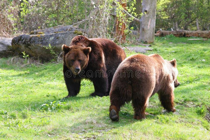 Pares do urso foto de stock