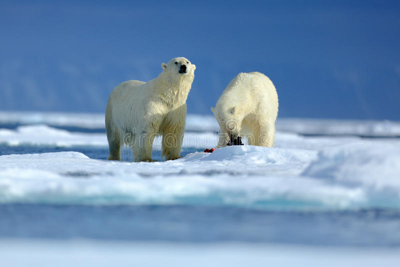 Pares do urso polar que afagam no gelo de tração em Svalbard ártico Carregue com neve e gelo branco no mar Cena fria do inverno c fotos de stock