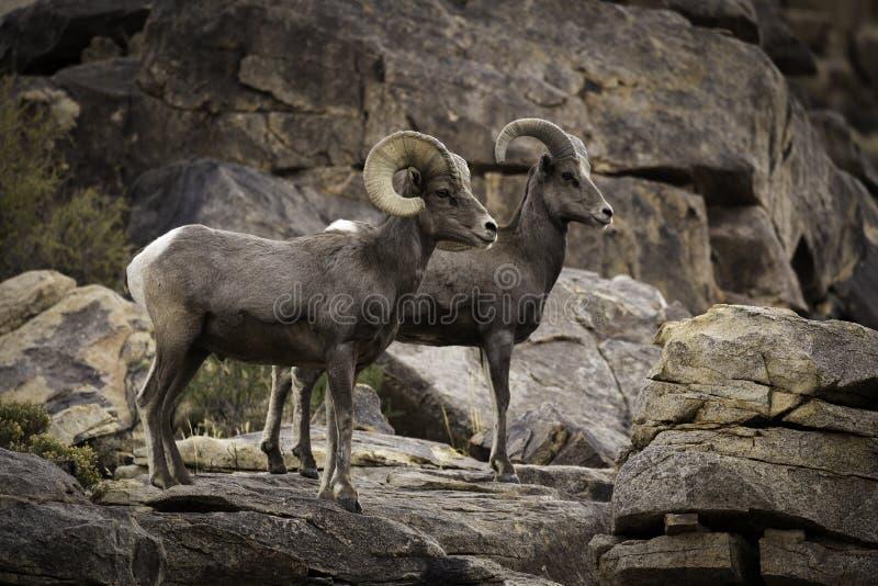 Pares dos carneiros de Bighorn do Ram e da ovelha em Joshua Tree National Park fotografia de stock royalty free