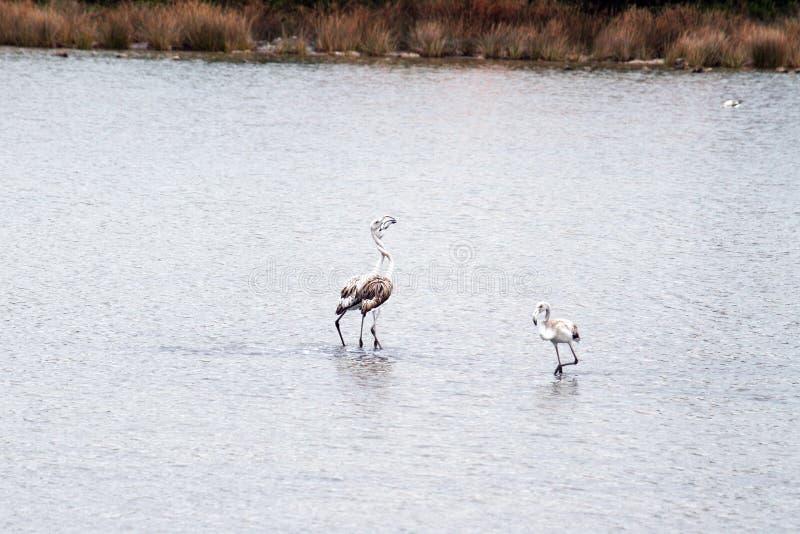 Pares dos flamingos fotos de stock royalty free