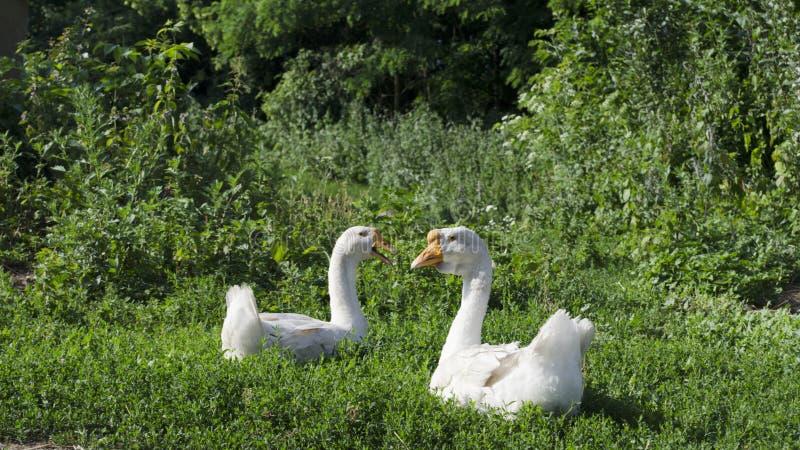Pares dos gansos brancos em um prado foto de stock