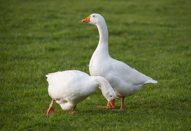 Pares dos gooses brancos da casa imagem de stock royalty free
