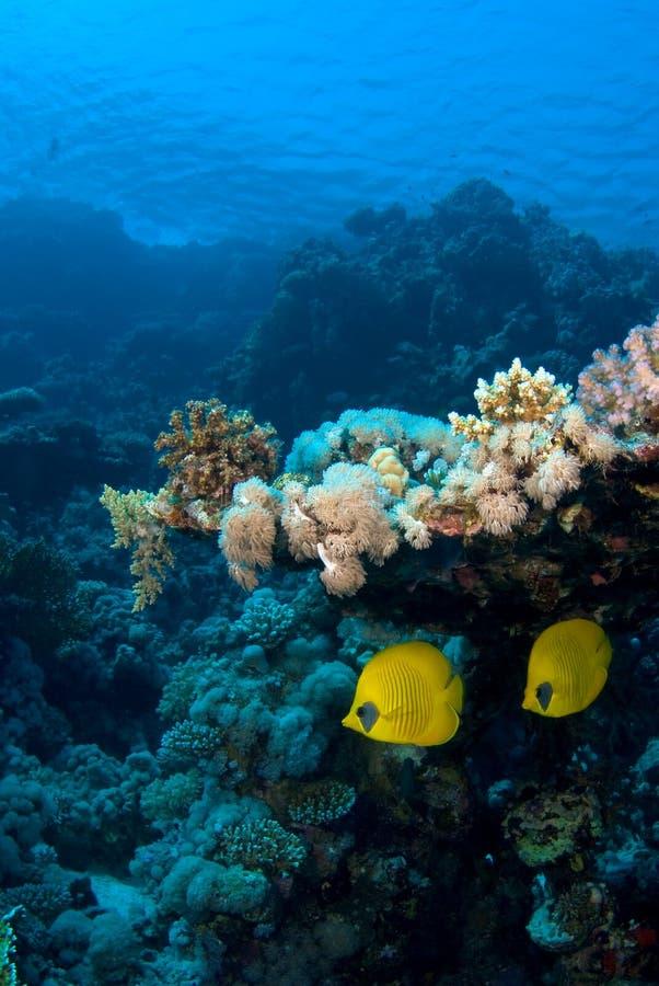 Pares dos peixes do recife sob o coral fotografia de stock royalty free