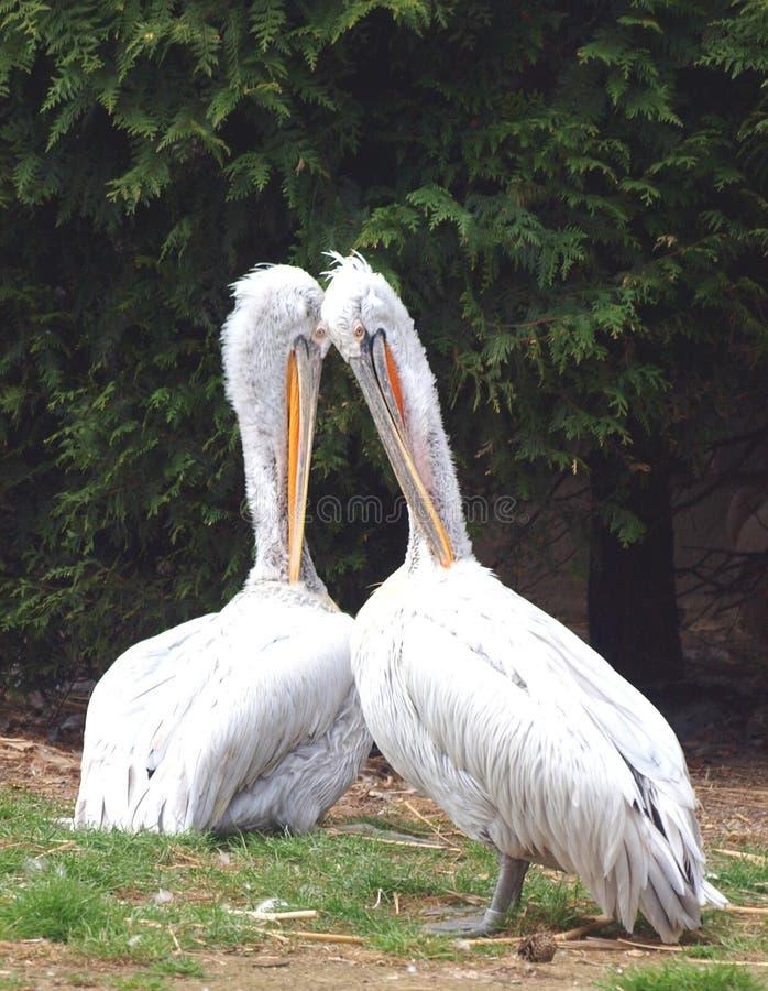 Pares dos pelicanos - onocrotalus do Pelecanus foto de stock