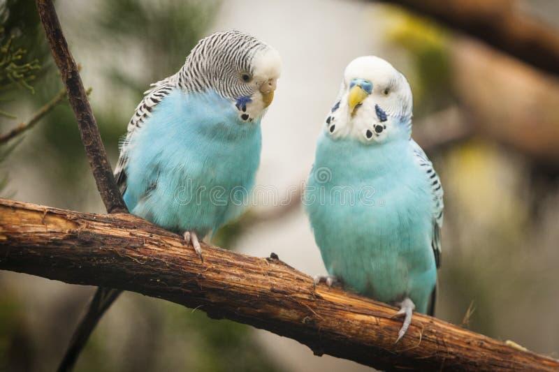 Pares dos periquitos do periquito australiano no ramo fotografia de stock