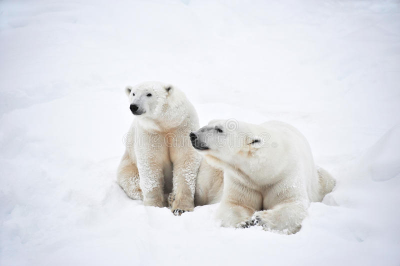 Pares dos ursos polares imagem de stock