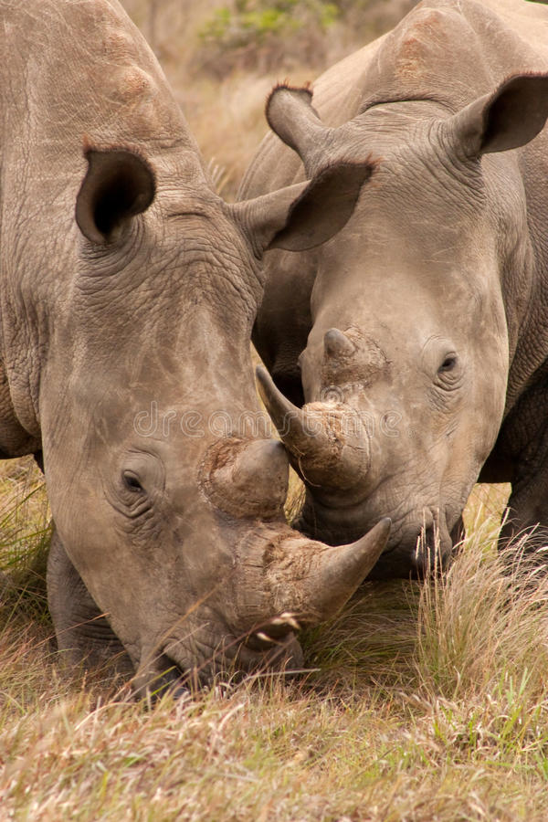 Pares jovenes del rinoceronte imagen de archivo