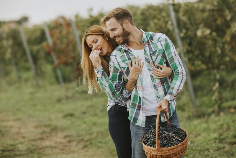 Pares jovenes que cosechan las uvas en un viñedo foto de archivo libre de regalías