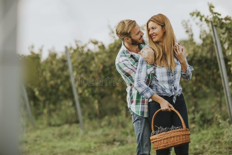 Pares jovenes que cosechan las uvas en un vi?edo fotos de archivo libres de regalías