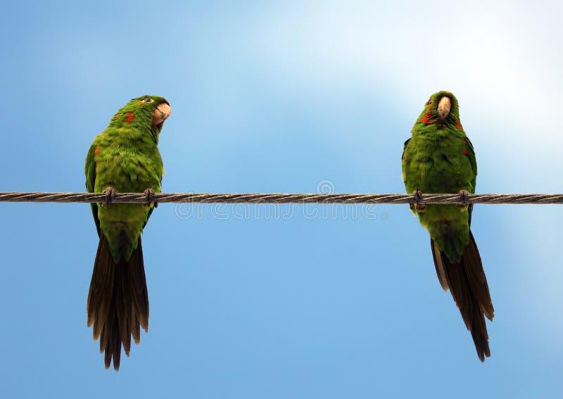 Pares lindos de los loros verdes que hablan y que sonríen con el fondo del cielo azul fotos de archivo