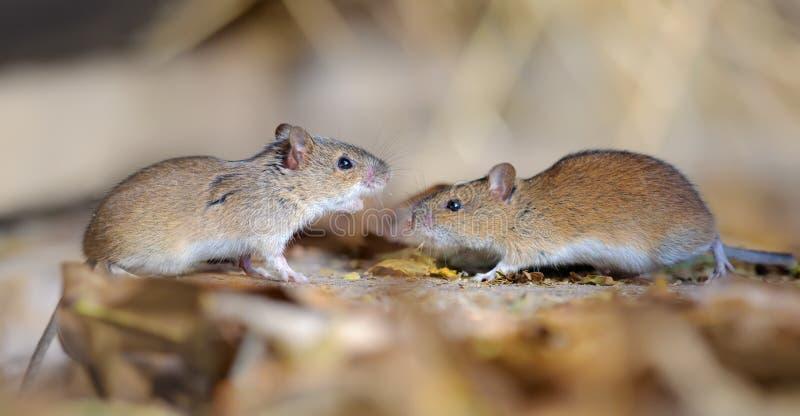Pares listrados dos ratos de campo na disputa e no conflito fotos de stock
