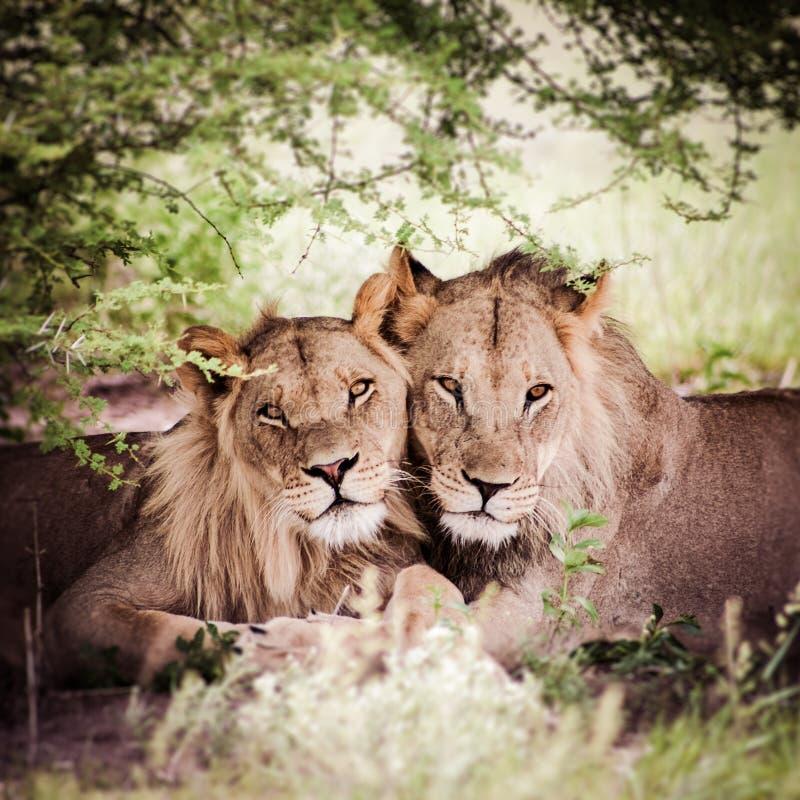 Pares loving de leão e de leoa foto de stock