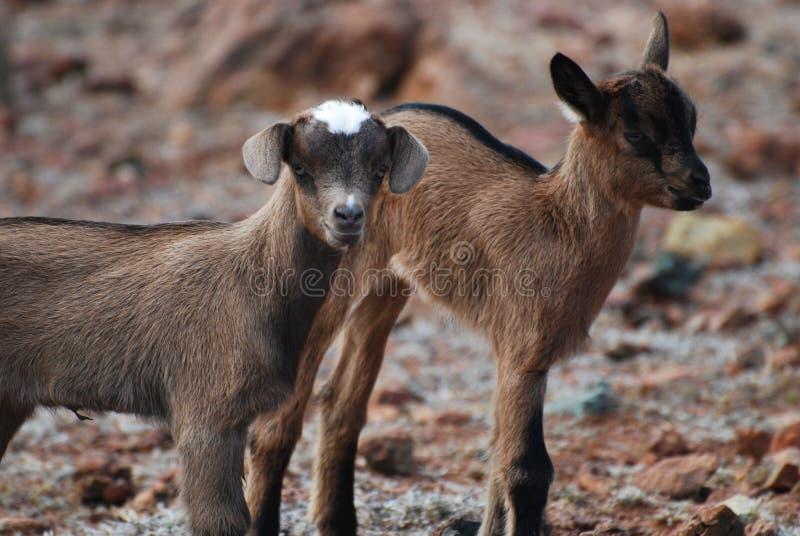 Pares magníficos de dos cabras de Brown del bebé en Aruba fotos de archivo