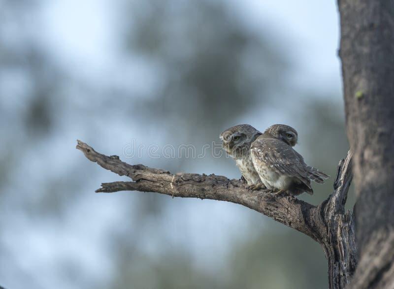 Pares manchados del mochuelo en el refugio de aves de Bharatpur, Rajasthán, la India fotografía de archivo