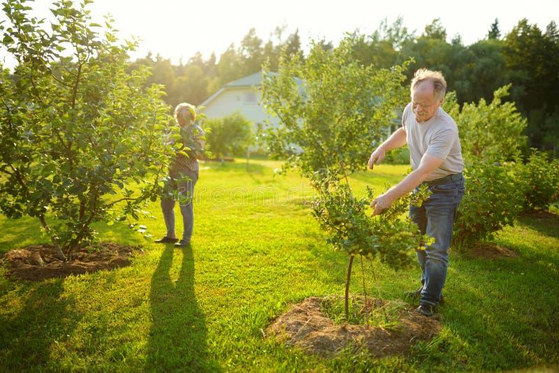 Pares mayores felices que cultivan un huerto en huerta del manzano imágenes de archivo libres de regalías